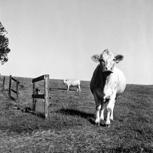 Cows-02
